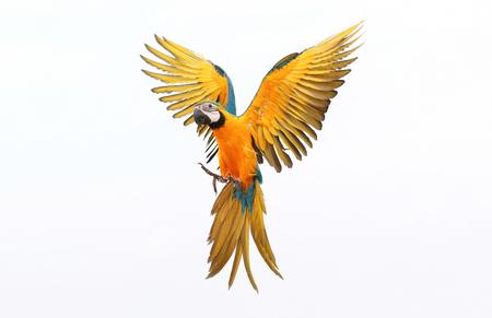 Loro volador colorido aislado en blanco