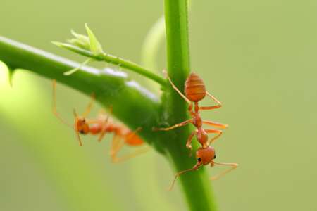 Red ant (Oecophylla smaragdina),Action of ant on a tree branch. Stock Photo