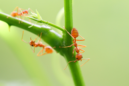 Red ant (Oecophylla smaragdina),Action of ant on a tree branch. Banque d'images