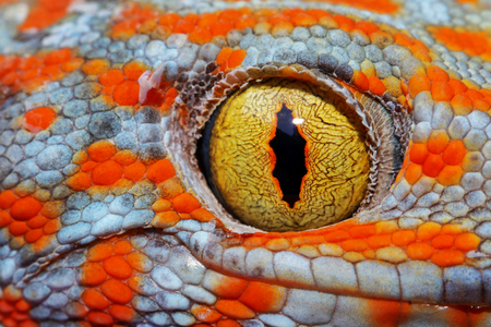 Colorful Toke's gecko amazing eye macro. Banque d'images