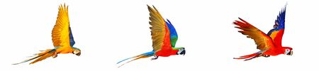 Blue and gold macaw, Harlegquin macaw, Scarlet macaw flying isolated on white
