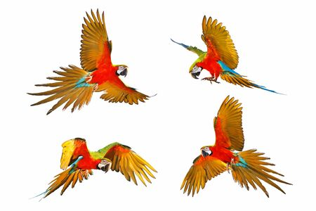 Set of Harlegquin macaw isolated in white background. Banque d'images