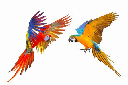 Colorful parrot isolated on white background, Scarlet macaw with Blue and gold macaw Banque d'images