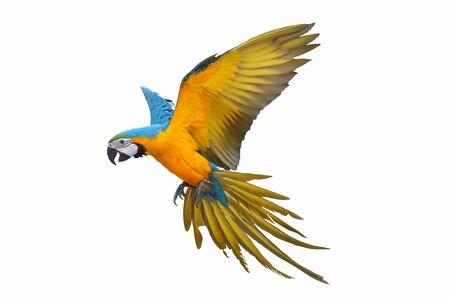 Ara Papagei isoliert auf weißem Hintergrund. Standard-Bild