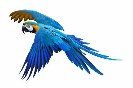 Macaw parrot isolated on white background.