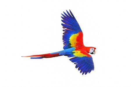 Ara Papagei fliegen isoliert auf weiß