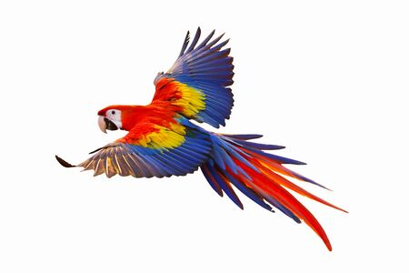 Macaw parrot flying isolated on white