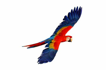Macaw parrot flying isolated on white Stockfoto