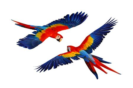Colorful macaw parrots flying  isolated on white Banque d'images