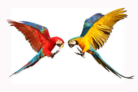 Colorful flying macaw parrots isolated on white Foto de archivo
