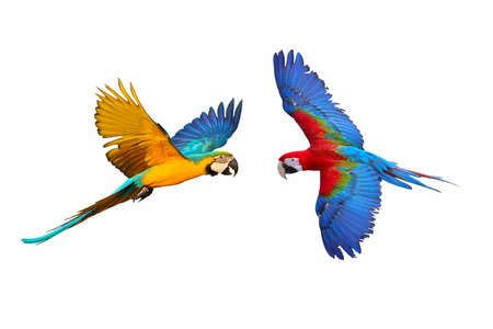 Colorful flying macaw parrots isolated on white