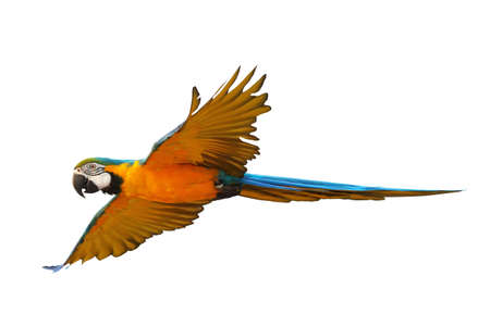 Colorful flying macaw parrot isolated on white