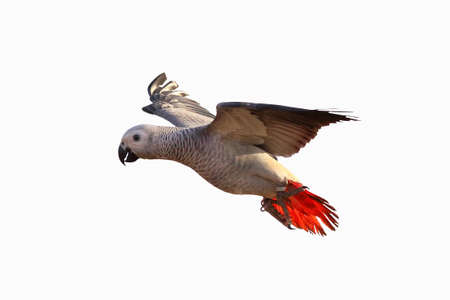 African gray parrot flying isolated on white Banque d'images