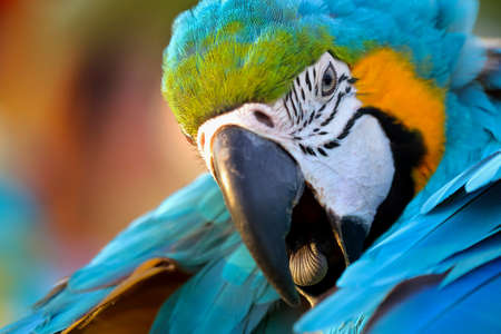 Close up to head of blue and gold macaw parrot. Banque d'images