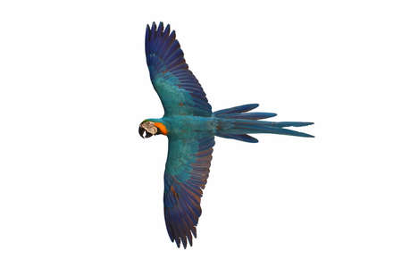 Macaw parrot flying isolated on white background. Banque d'images