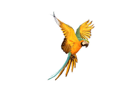 Macaw parrot flying isolated on white background
