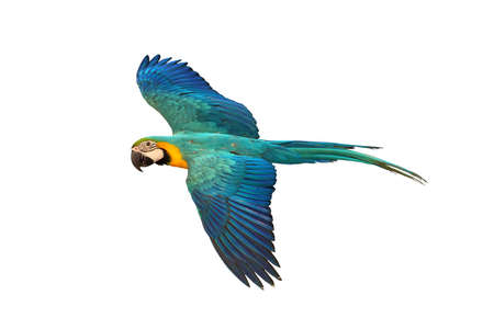 Beautiful macaw parrot flying isolated on white