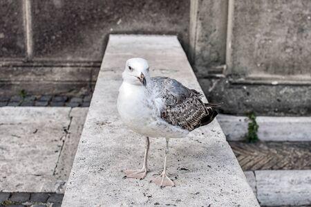 legged Gull (Larus michahellis)