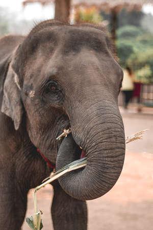 Young elephant feeding himself on sugarcane in Elephant Sanctuary Chiang Mai Thailand Stock fotó
