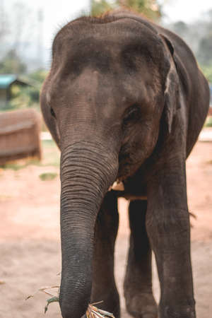 Baby elephant carrying a sugarcane in his trunk in Chiang Mai Thailand