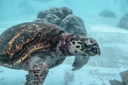 Kareta sea turtle flowing in a water tank in Naha Okinawa Japan