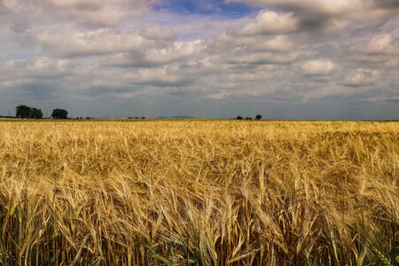 Field with golden grain on a cloudy day before a storm in Austria