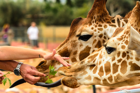 reticulated giraffe: Giraffes Being Feed by humans man and woman Stock Photo