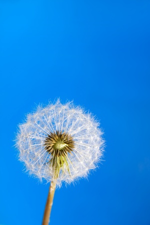 plant life: Dandelion on blue sky background Stock Photo