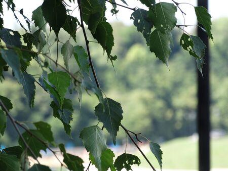 Birch leaves Foto de archivo - 133571394
