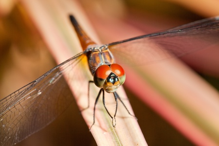 Closeup of Dragonfly photo