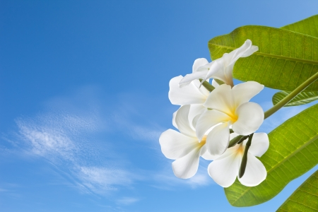 lei: frangipani with blue sky