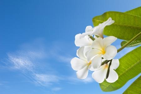 plumeria on a white background: frangipani with blue sky