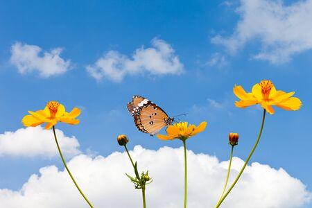 Butterfly on Cosmos Flower with Blue Sky photo