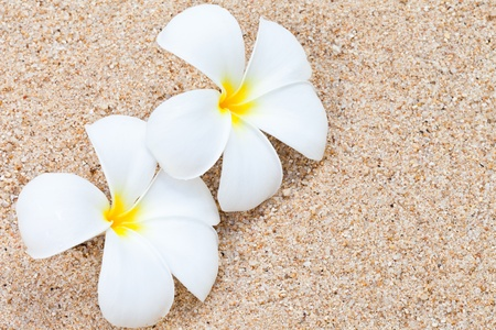 frangipani: Frangipani flower on sand
