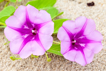 star shaped: Ipomoea Flower Stock Photo