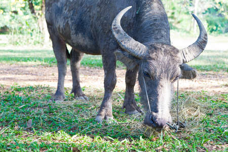 Asian Buffalo Stock Photo - 11422161