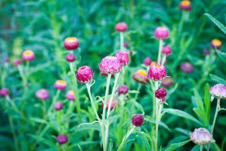 Straw flower (Everlasting) photo