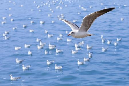 dieren: De zee meeuw, die vliegt in de lucht Stockfoto