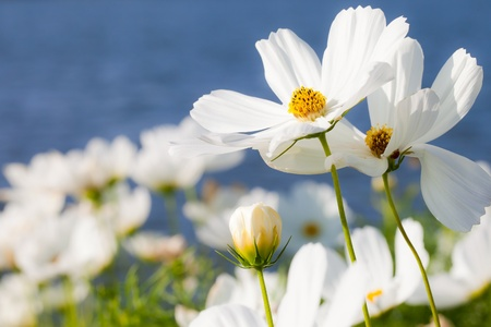 white with daisies: Cosmos Flowers