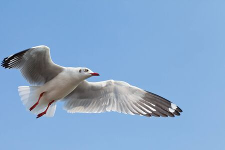 wingspread: Flying seagull and blue sky