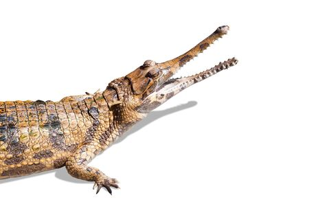 Crocodile on white background with shadow  photo