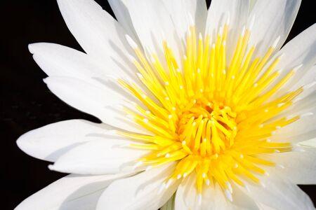 Closeup White Lotus Flower photo