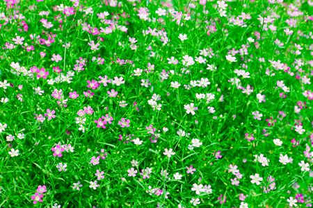 babys: Closeup view of gypsophila flower, suitable for background