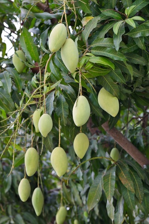 A mango tree with full of fruits photo
