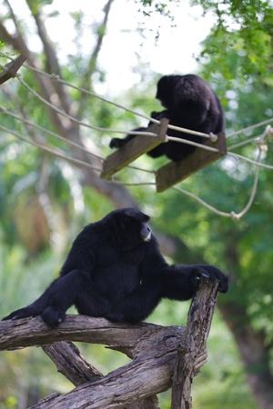 siamang: Black siamang at zoo