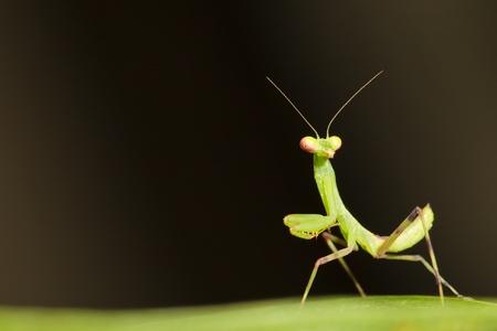Macro of baby Praying Mantis Imagens