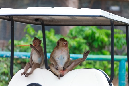 2 Monkeys on Golf carts at Thailand photo