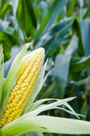 mais: Closeup corn at filed Stock Photo