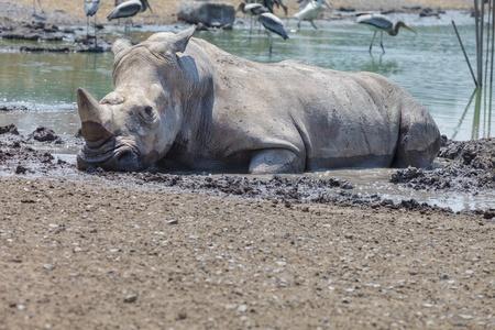 herbivore: White rhino in mud