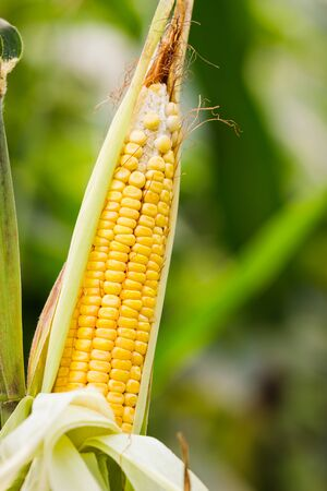 sweetcorn: Corn on the stalk in the field Stock Photo
